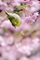 [野鳥][花&メジロ]メジロ(桜雨)