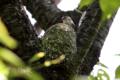 [野鳥]エナガの巣