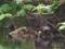 カイツブリ営巣中