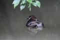 [野鳥]カイツブリ親子2014