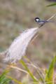 [野鳥]シジュウカラ