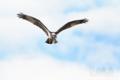 [野鳥][飛翔]ミサゴ♀