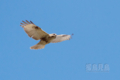 [野鳥][飛翔]ノスリ