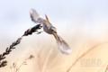 [野鳥][飛翔]ジョウビタキ♀