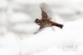 [野鳥][飛翔]カシラダカ♂ 飛翔