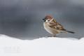 [野鳥]スズメに小雪の降りかかる