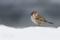 スズメに小雪の降りかかる