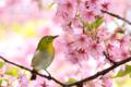 [野鳥][花&メジロ]サクラ&メジロ