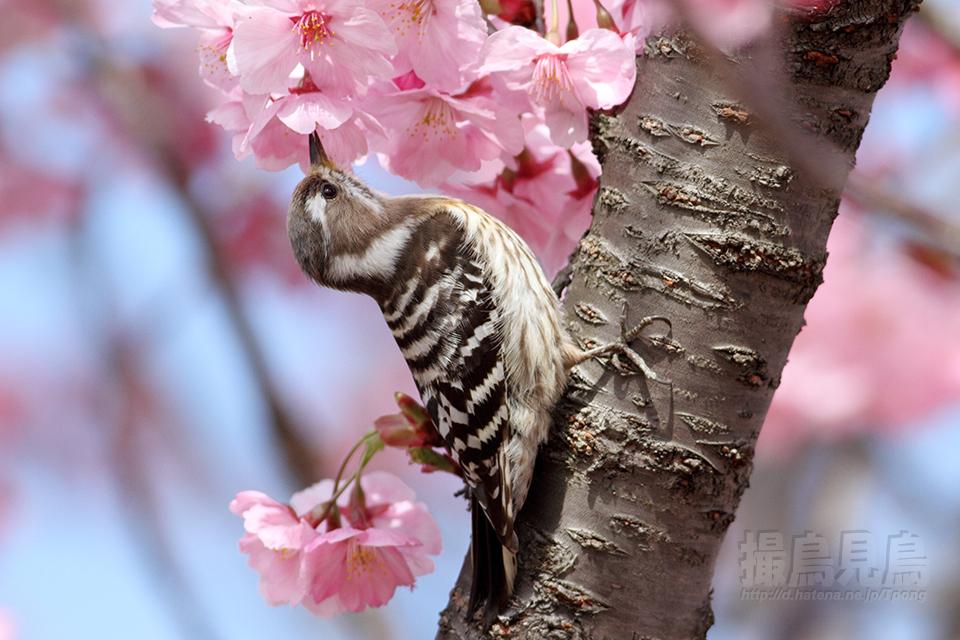 コゲラも花蜜が好きなのか