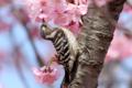 [野鳥]コゲラも花蜜が好きなのか