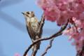 [野鳥]クチバシが花粉まみれのコゲラ