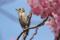 クチバシが花粉まみれのコゲラ