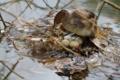 [野鳥]カイツブリ抱卵中