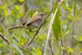 [野鳥]藪からウグイス