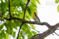 [野鳥]若いキビタキ♂