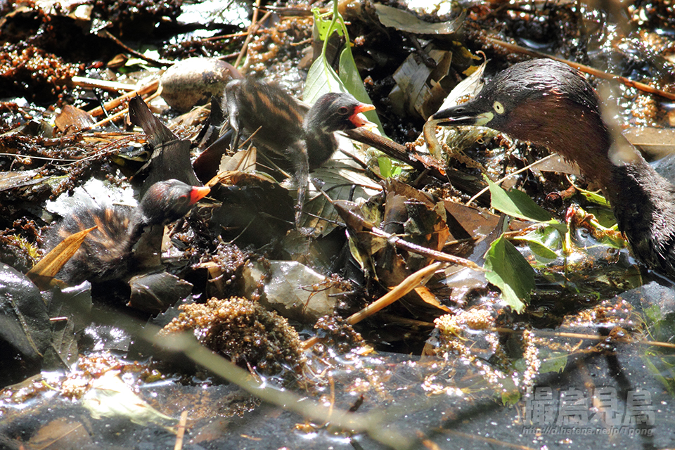 給餌するカイツブリ