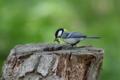 [野鳥]切株の巣に餌を運び込むシジュウカラ♀