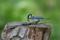 切株の巣に餌を運び込むシジュウカラ♀
