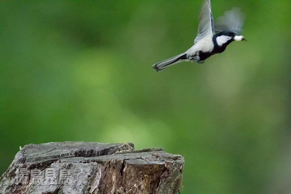 巣からヒナの排泄物を運び去るシジュウカラ♂