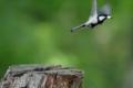 [野鳥][飛翔]巣からヒナの排泄物を運び去るシジュウカラ♂