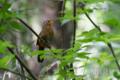 [野鳥]ガビチョウのさえずりは騒音レベル