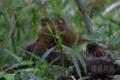 [野鳥]暗き藪の中で睦み合うガビチョウ