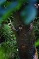 [野鳥]アオゲラの抱卵交代