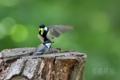 [野鳥]シジュウカラ給餌交代