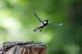 [野鳥][飛翔]シジュウカラ♂ イクメンパパはフンの始末