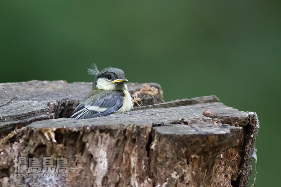 シジュウカラ幼羽 巣立直前