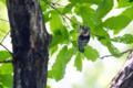[野鳥]コゲラのハンティング(ウスタビガ幼虫)