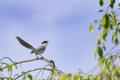 [野鳥]五月呼ぶオナガ