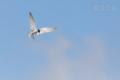 [野鳥][飛翔]ホバリングするコアジサシ