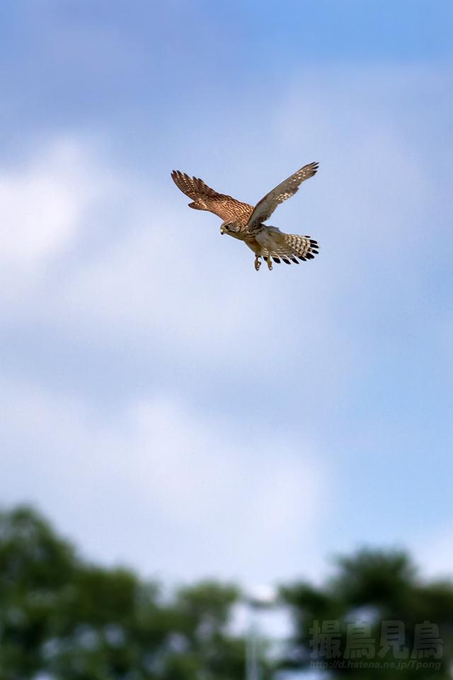 チョウゲンボウ♀の停空飛翔