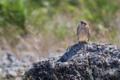 [野鳥]チョウゲンボウ幼羽