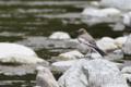 [野鳥]セグロセキレイ幼羽