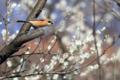 [野鳥]花樹林のモズ♂