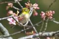 [野鳥][花&メジロ]メジロ001