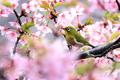 [野鳥][花&メジロ]メジロ早春