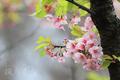 [植物][桜]残華