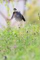 [野鳥][飛翔]オナガの飛翔