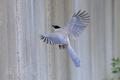 [野鳥][飛翔]オナガの翼
