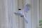 オナガの翼