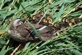[野鳥]カルガモ親子