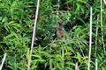 [野鳥]オオヨシキリ
