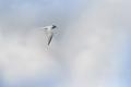[野鳥][飛翔]コアジサシ001