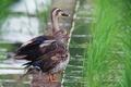 [野鳥]オシドリ♂エクリプス