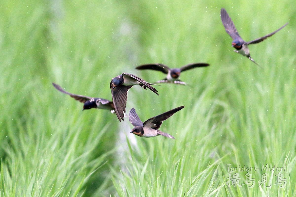 ツバメ幼鳥飛行訓練