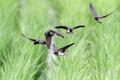 [野鳥][飛翔]ツバメ幼鳥飛行訓練
