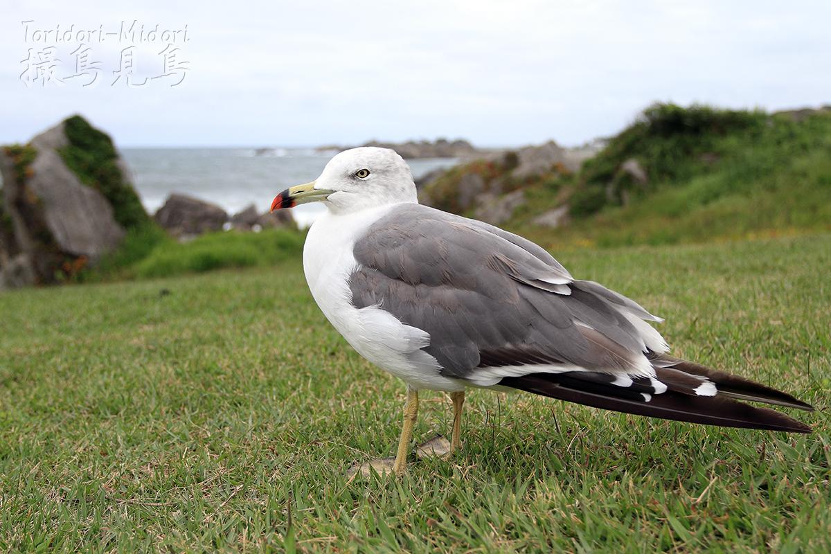 ウミネコ成鳥(種差海岸)